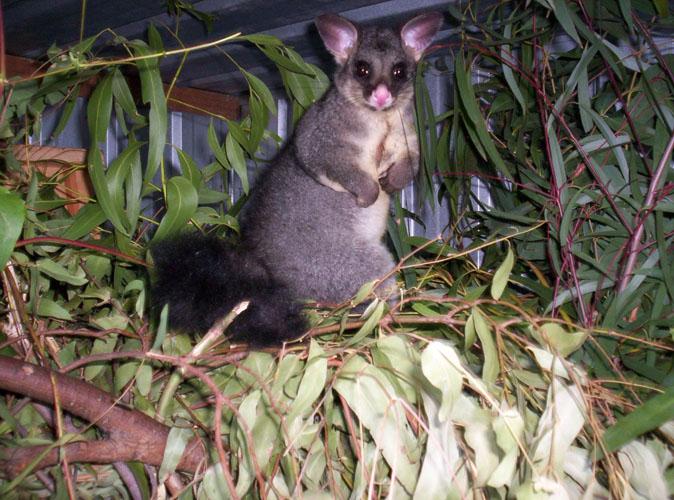 thumbnail_environment_brushtail_possum